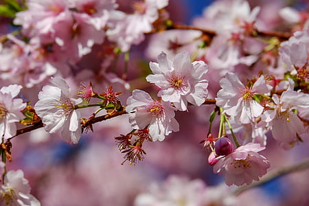 photography of cherry blossom tree