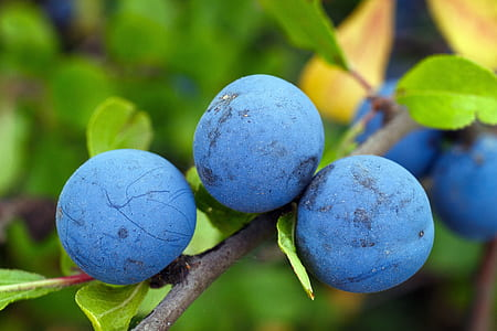 three round blue fruits on tree branch