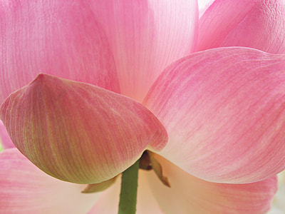 close-up photo pink and white petaled flower