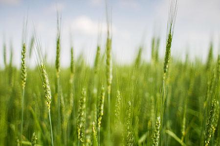 Green Grain Field