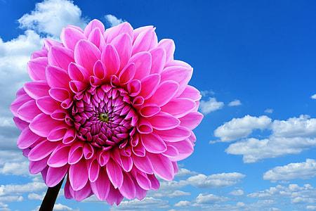 pink dahlia flower under white clouds blue skies daytime