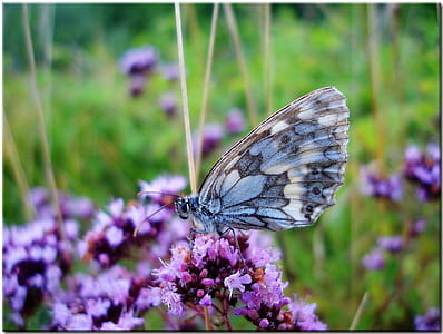 shallow focus photography of gray butterfly on purple Lavender