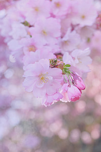 closeup photography of Sakura blossoms