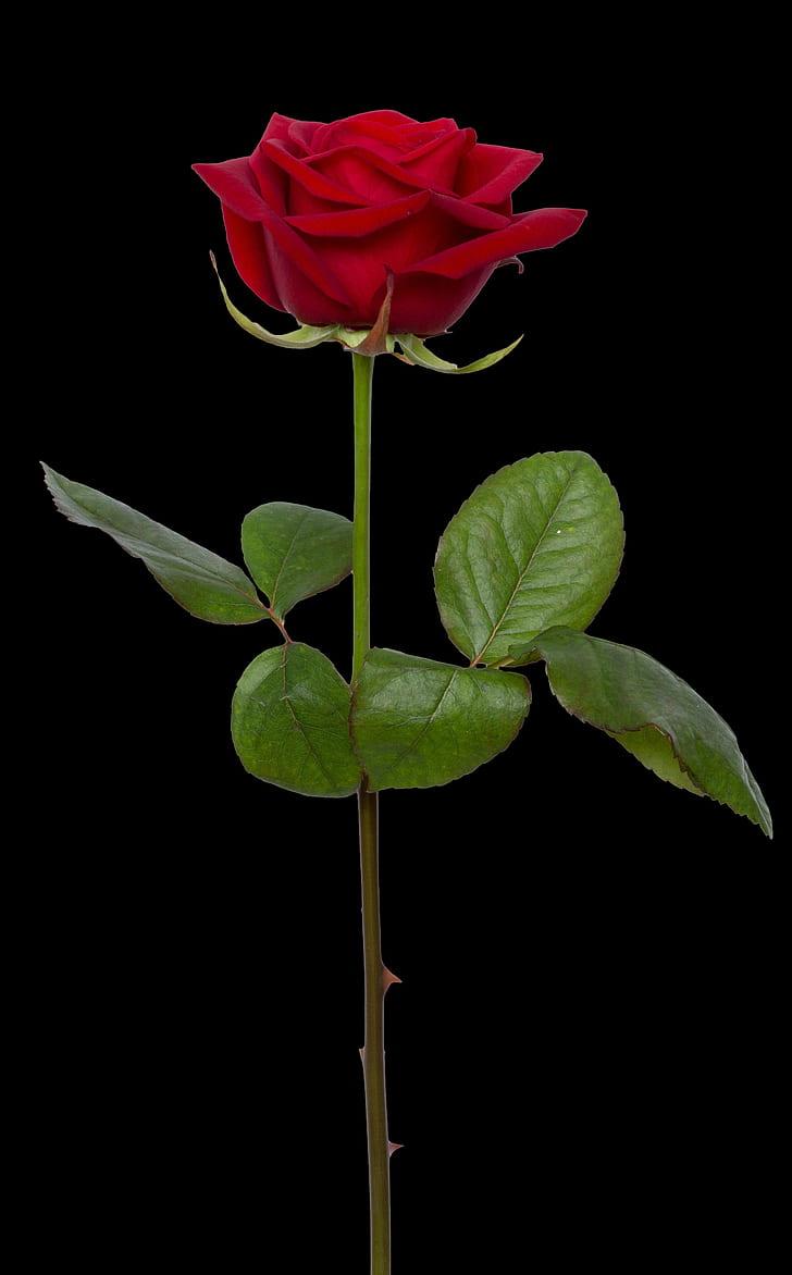 Royalty-Free photo: Photo of red rose illustration | PickPik