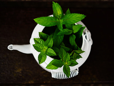 person taking photo of mint plant