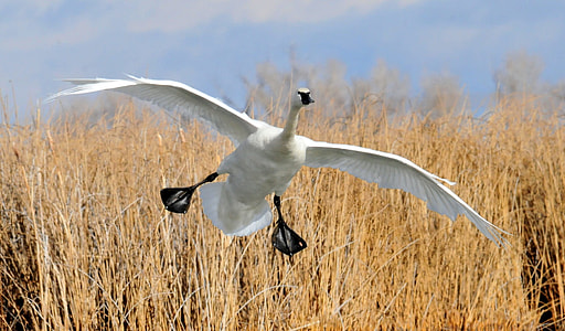 wildlife photography of flying white duck on brown grass field