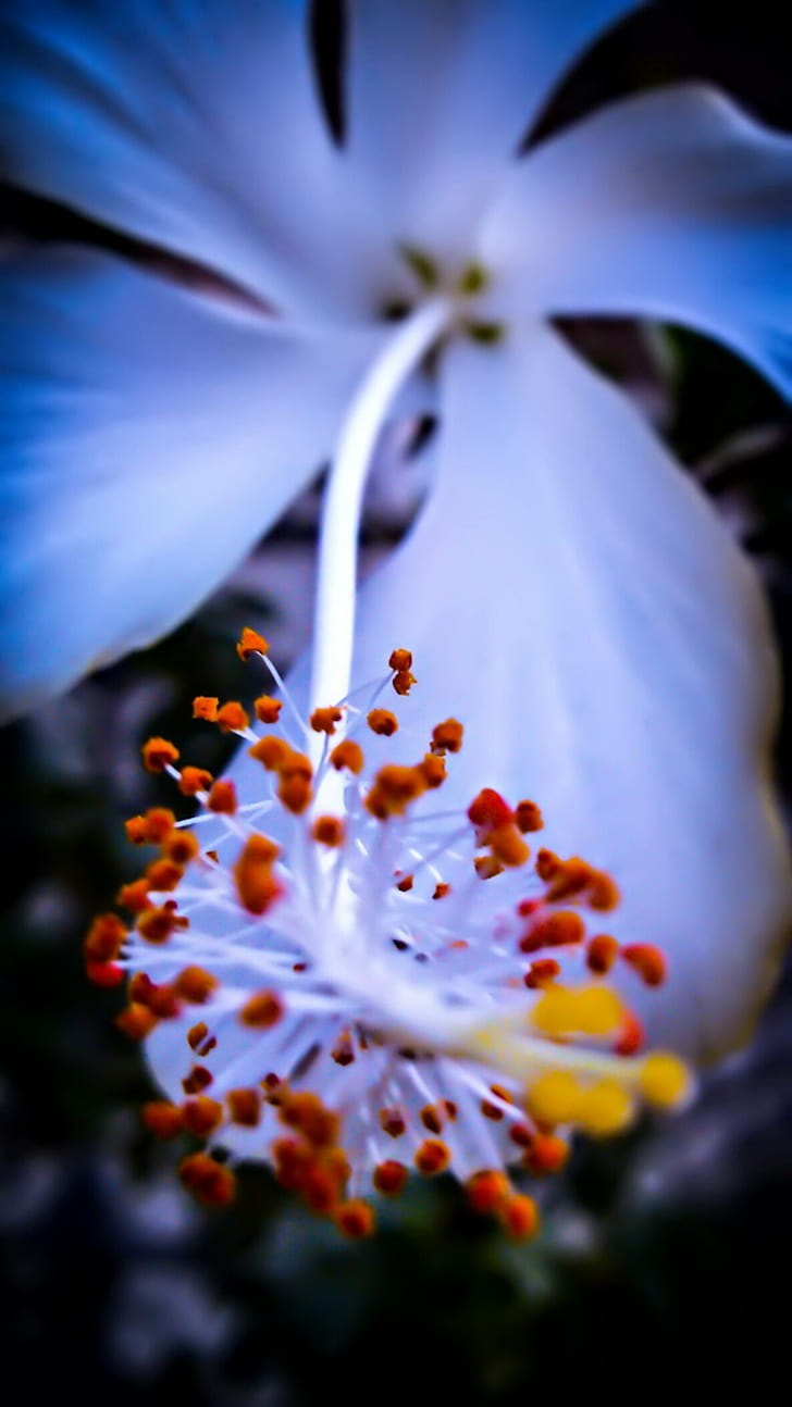 Royalty free photo white hibiscus flower in macro shot photography white hibiscus flower in macro shot photography izmirmasajfo