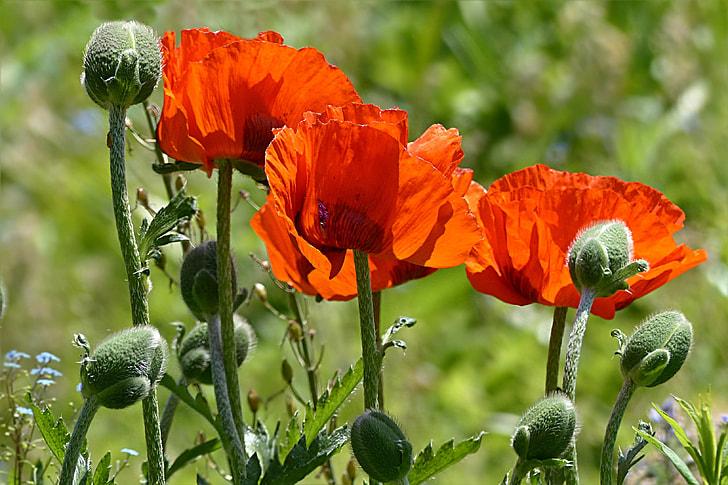Royalty free photo poppy flower in bloom during daytime pickpik poppy flower in bloom during daytime mightylinksfo