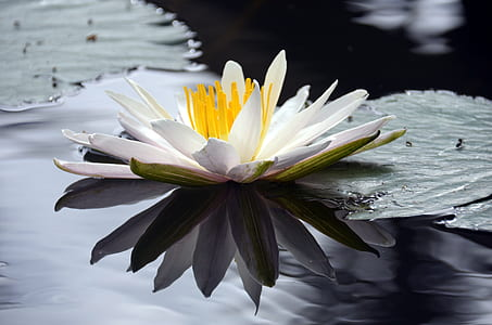 white water lily in bloom at daytime