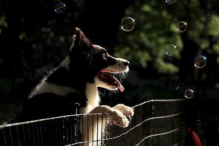 black border collie leaning on metal fence while watching the bubbles