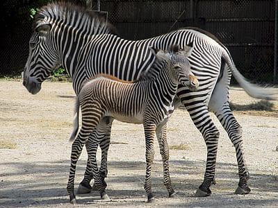 closeup photo of two zebras