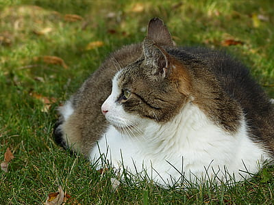 closeup photo of short-furred grey and white cat
