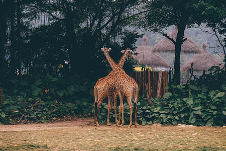 two brown giraffes beside green-leafed trees