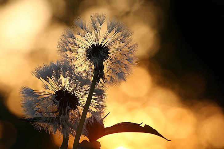selective focus photography of dandelion flower