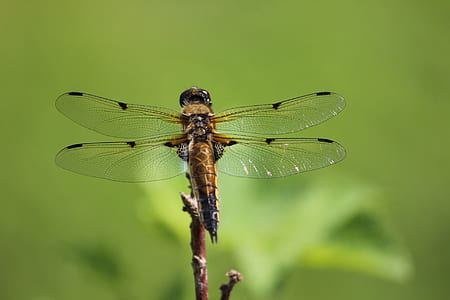 Brown and Black Dragonfly