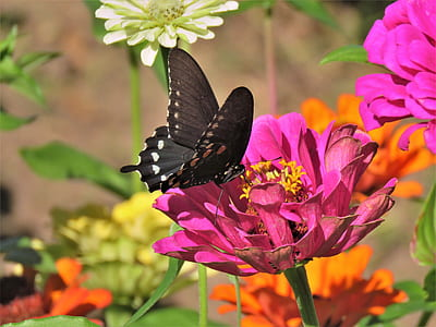 spicebush butterfly perching on pink cluster flower during daytime