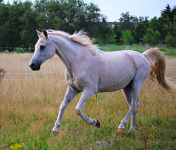 white horse running in the field