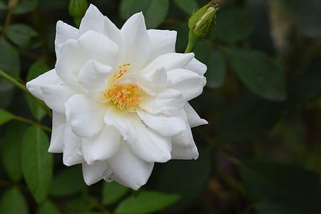 rose, flower, white, floral, nature, blossom