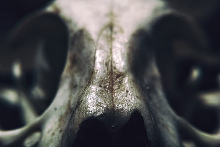 white animal skull photo