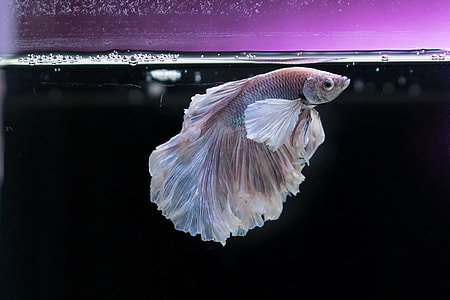 white Beta fish on clear fish tank