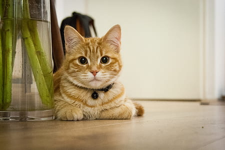 portrait photography of orange Tabby cat on brown wooden flooring