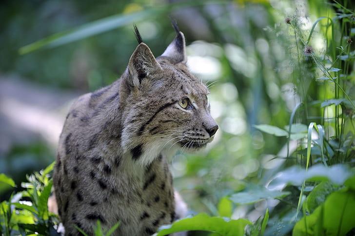 wildlife photography of lynx