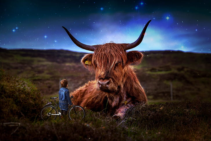 boy with bicycle staring at West Highland cattle