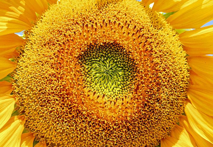 Sun Flower, Flower, Flower, Helianthus Annuus, flower, flowers, yellow