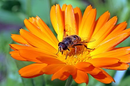 hoverfly perched on orange daisy flower closeup photography