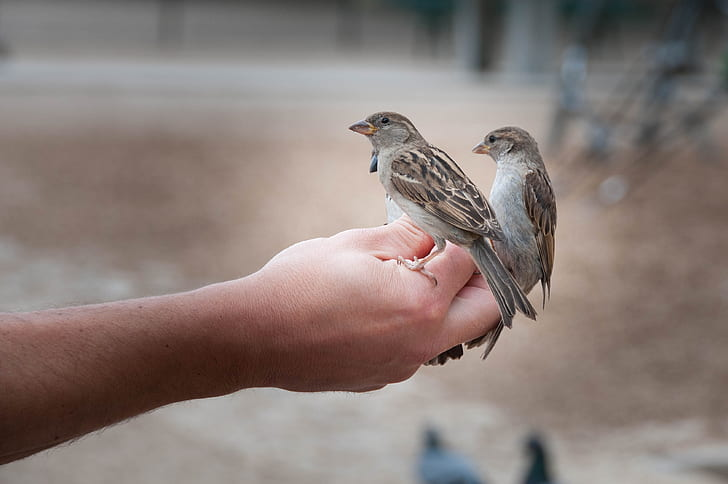 two brown-and-gray birds on person's hand