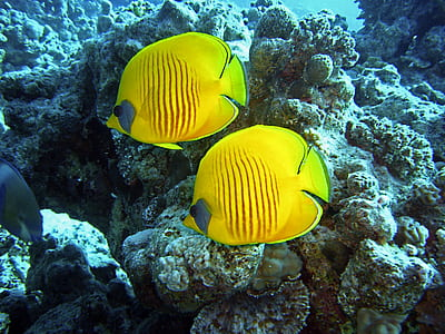 two yellow fishes swimming in body of water