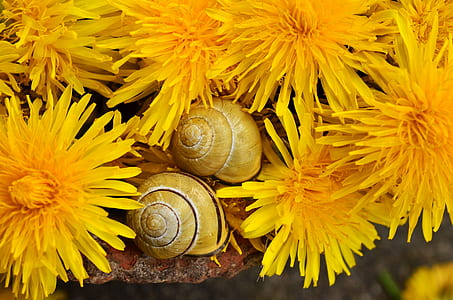 closeup photo of two brown snails near yellow petaled flowers