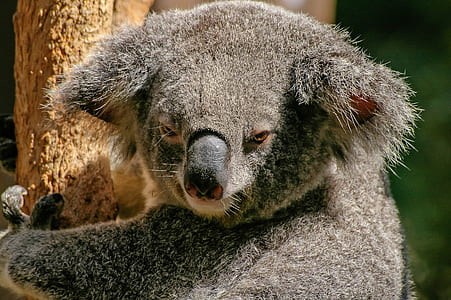 close up photo of grey Koala bear