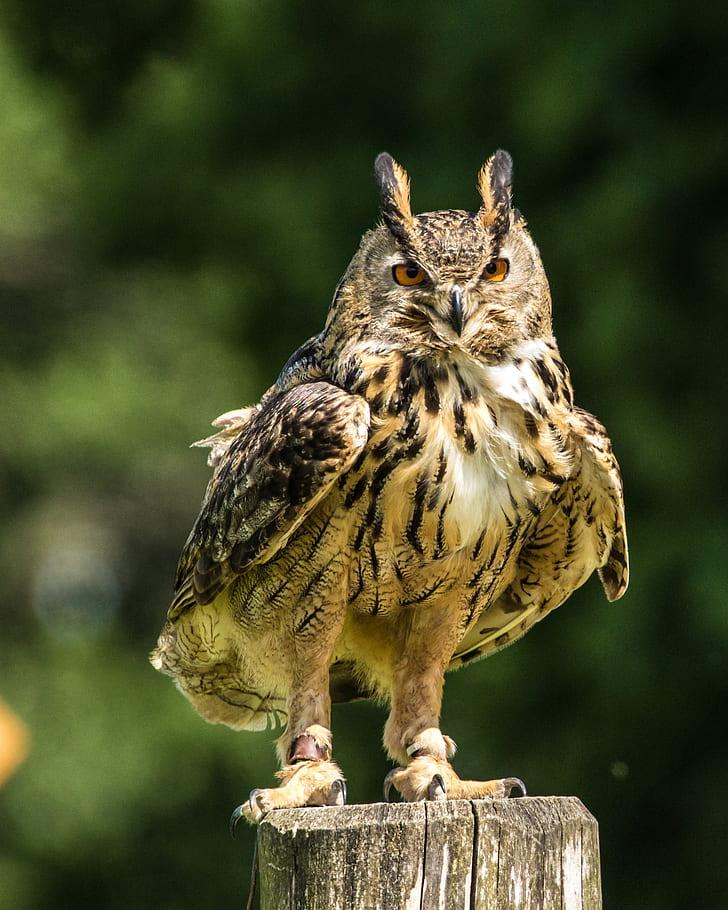 brown eagle-owl