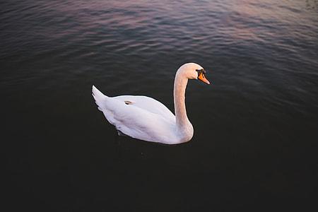 Single Swan Water