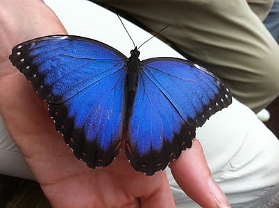 morpho butterfly perched on left human hand at daytime