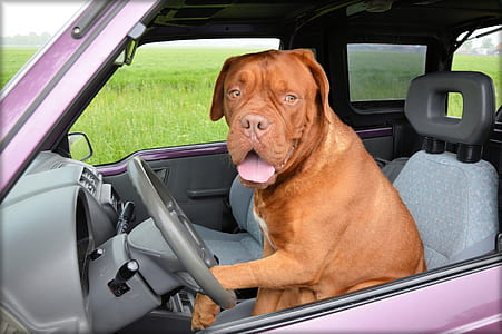 dog on car driver seat