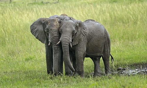 two gray elephants on green grass field