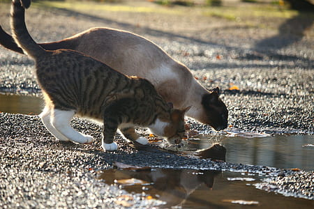 selective focus photography of two tabby cat and Siamese cat beside body of water