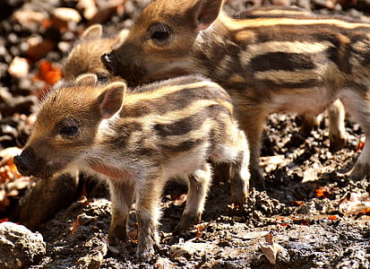 white and brown boars