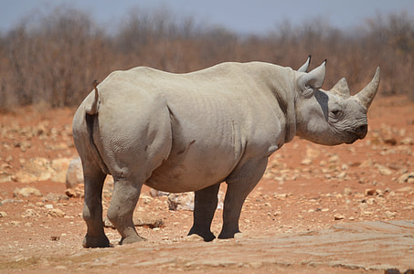 rhinoceros on ground