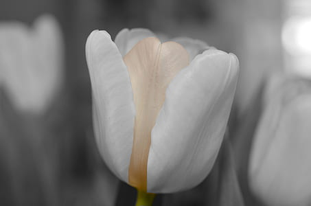 closeup photography of white tulip flower