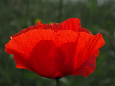 closeup photgraphy of red poppy
