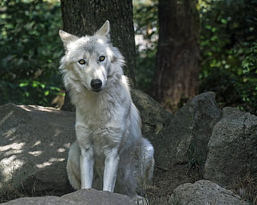 wolf sitting on top of rocks under a tree