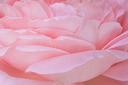 pink peony in macro photography