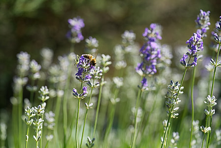 depth of field photography of bumble bee collecting nector on purple petaled flower