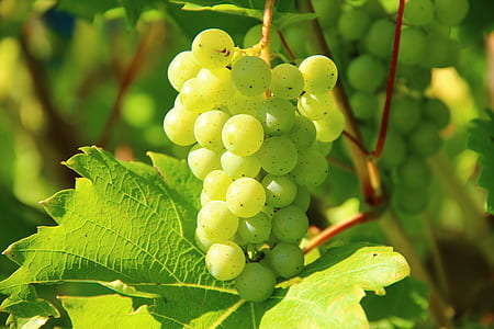 photography of green grape bunch