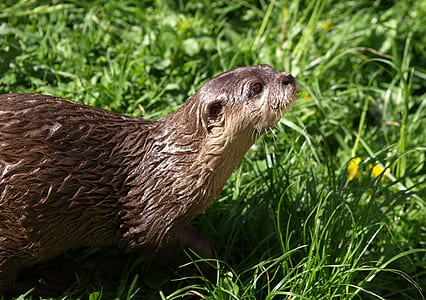 brown otter on grass