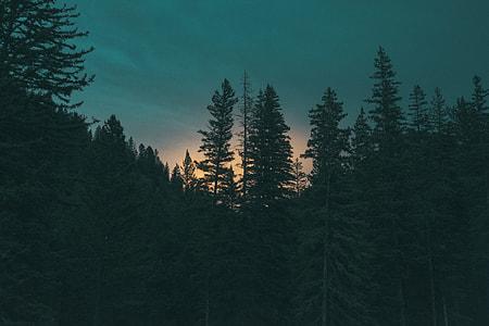 silhouette of pine trees during golden hour