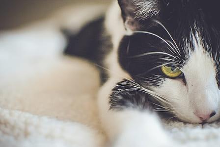 Black and White Short Coated Cat